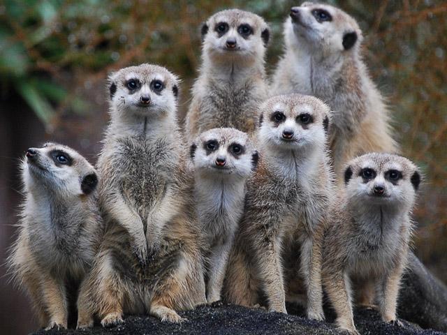 Meerkats-Auckland_Zoo
